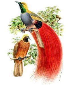 Schmuck-Paradiesvogel