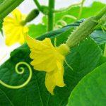 Babygurke Gemüse