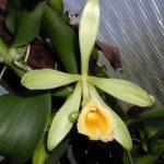 Vanille Orchidee