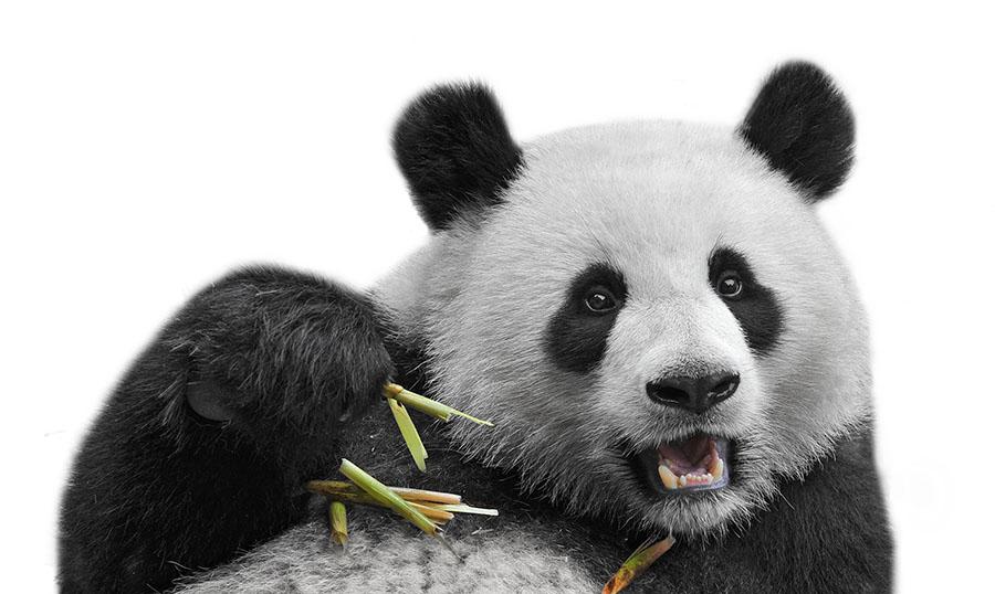 Großer Panda - Pelziges auf Briefmarken