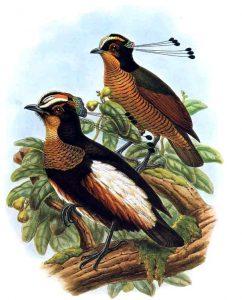 Carola-Strahlenparadiesvogel