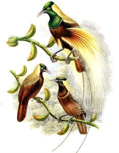 Kaiser-Paradiesvogel