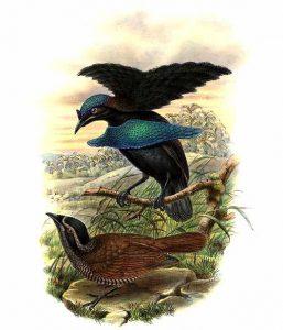 Kragen-Paradiesvogel