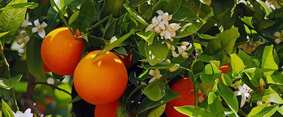 Orangenblüten grün
