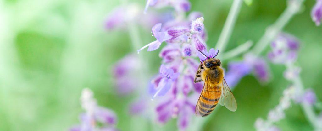 Fleißige Biene auf Blüte