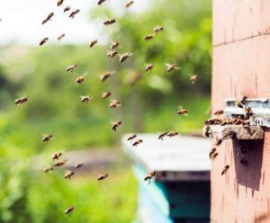 Bienen vor dem Stock