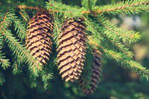 Baum des Jahres Fichte