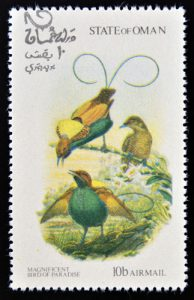 Sichelschwanz-Paradiesvogel aus dem Oman