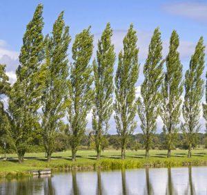 Pappel Baum des Jahres