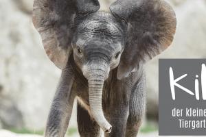 Kibali, das niedliche Elefantenbaby