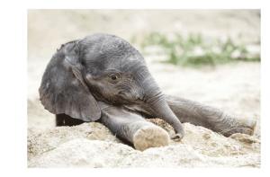 Eine Postkarte mit dem niedlichen Elefantenbaby