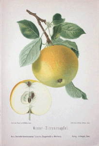 Apfel Botanische Malerei