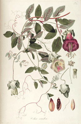 Botanische Illustration