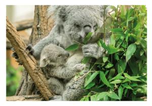 Das Koala-Baby aus dem Tiergarten Schönbrunn